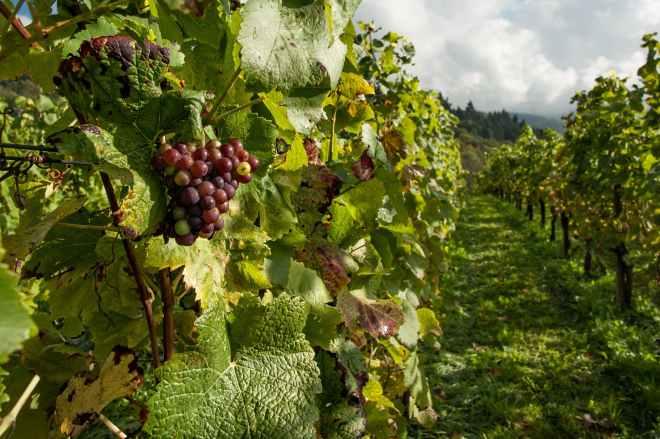 nature countryside grapes vineyard
