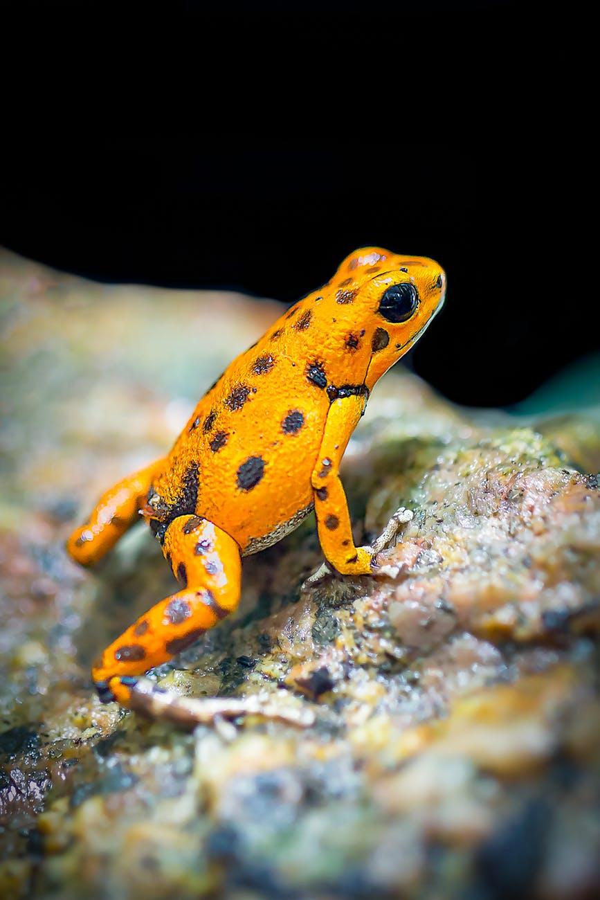 orange and black frog